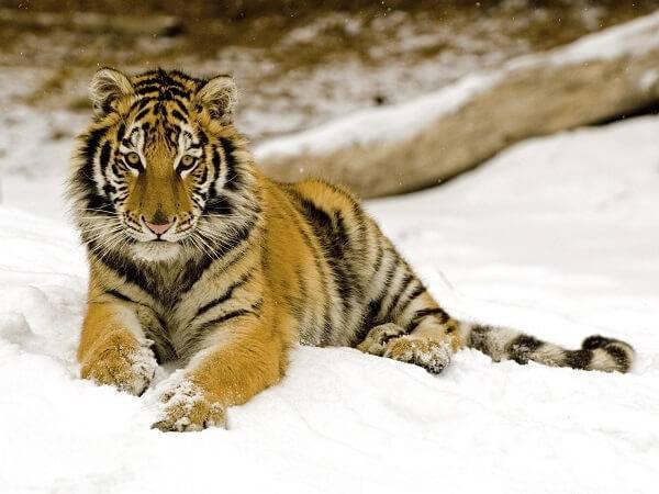 веселые тигры фото
